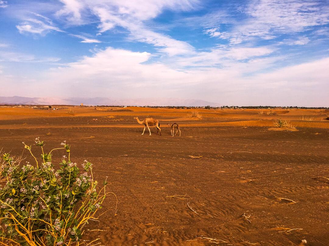 Camels in Wahiba Sands desert